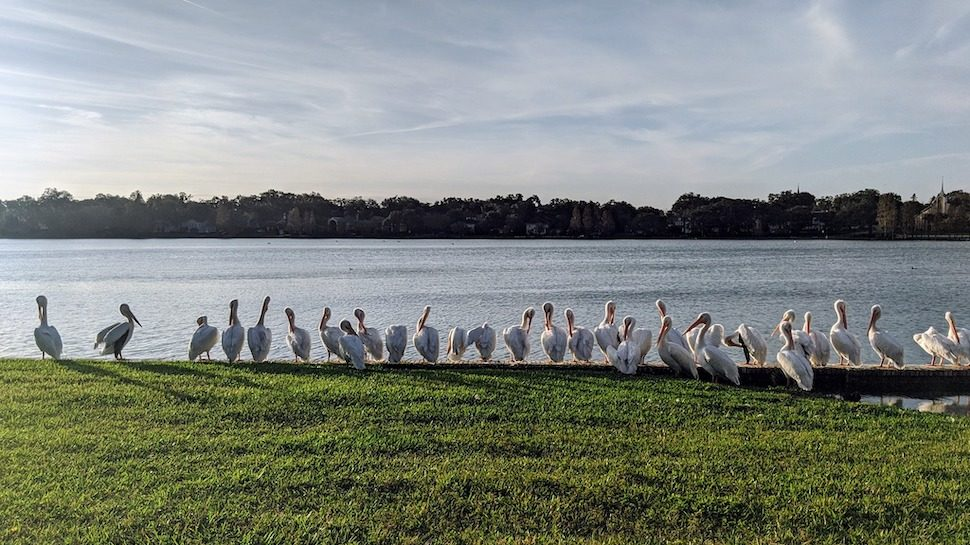 A line of pelicans on the shore of Lake Morton